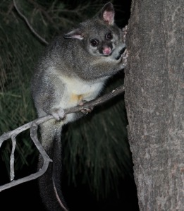 A possum's yellow fur shows where its pouch is situated