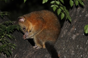 Brush Tail Possums use their delicate paws and sharp claws for feeding, climbing and grooming