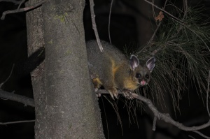 Brushtail Possum foraging in a native pine tree