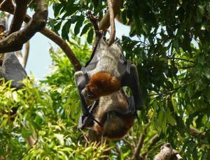 Fruit Bats or Grey- headed Flying -foxes are found in the Botanic Gardens which are situated within  the Parklands