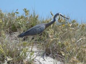 White Faced Heron stalking lizards