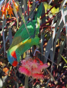 Musk Lorikeet feeding on coral gum blossoms