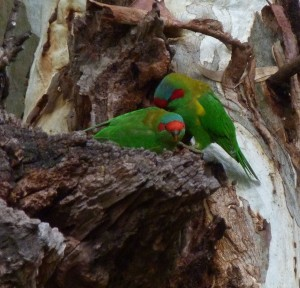 Musk Lorikeet pair bonding near nest hole
