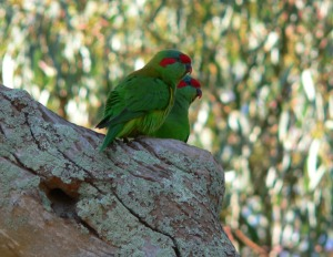 Pair of Musk Lorikeets