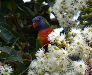 Rainbow Lorikeet amongst white gum blossoms