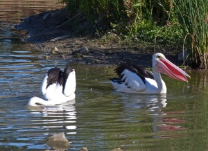 Pelicans feeding in the shallows near reeds