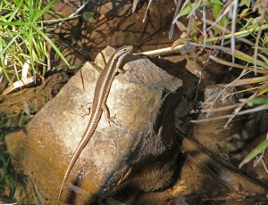 Water Skink near the river bank