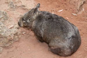 Wombat in sandy terrain within Mallee scrub near the river