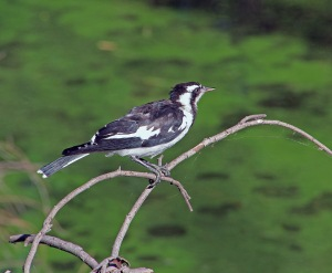 A Mudlark perches on a branch watching for insects