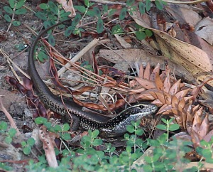 A water skink freezes in the undergrowth near the river bank