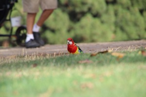 An Adelaide rosella nonchalently feeds on seeds as a golfer strolls past