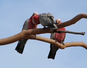 Galahs socialising after flying into a Eucalyptus tree