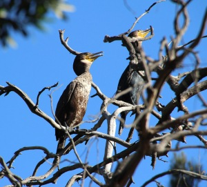 Great Cormorants roosting in trees overhanging the Torrens Lake