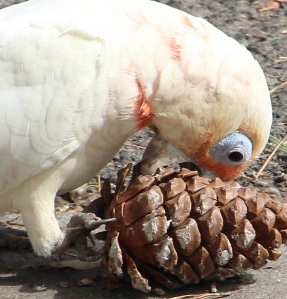 Little Corella demolishing a pine cone