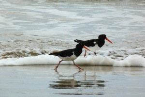 Pied Oystercatchers feeding in the surf