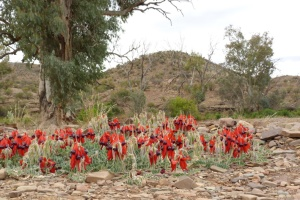 C Dry creek bed near Arkaroola with Sturt Desert Pea in the foreground