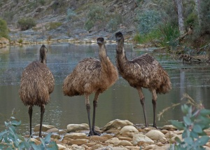 D Group of Emus at waterhole in the evening