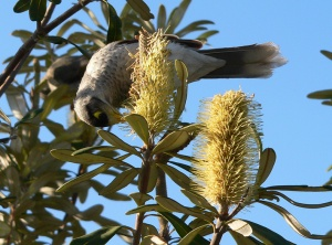 AB Noisy Miner feeding on a banksia bloom