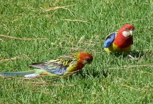 AC Male and Female Adelaide Rosellas feeding