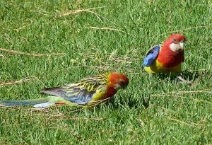 AC Male and Female Adelaide Rosellas feeding