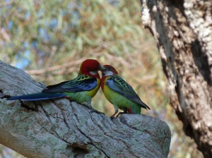 AE Social interaction between Adelaide Rosellas above nesting hole