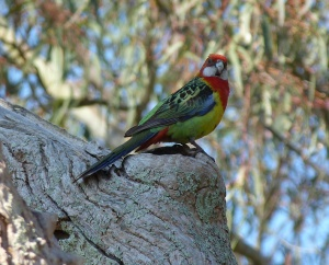 AF Adelaide Rosella perched on nesting hole entrance