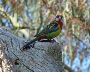 AF Adelaide Rosella perched on nesting hole entrance
