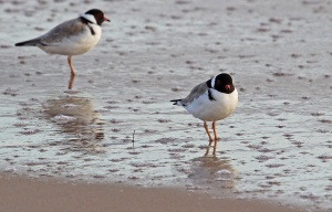 E Hooded Plovers red