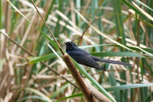 AA Willy Wagtail lookin for insects amongst the reeds