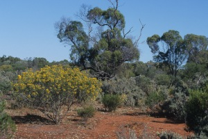 AB Different layers of arid scrub on Eyre Peninsula