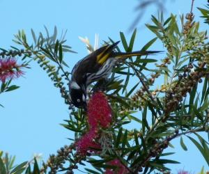 AB New holland honeyeater feeding in bottlebrush