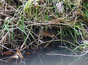 AC Australian Water Rat sheltering under the bank edit 2