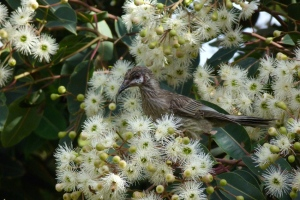 AC Young wattle bird feeding in eucalyptus tree