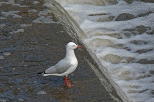 AE Australian silver gull looking for prey in the overflow