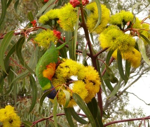 AF Rainbow lorikeet feeding on red flowering gum blossoms