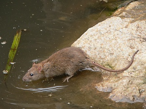 AG Common rat scavenging close to the river