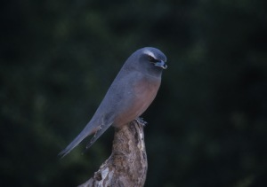 hite-browed Wood Swallow perched near its nest in a fence post