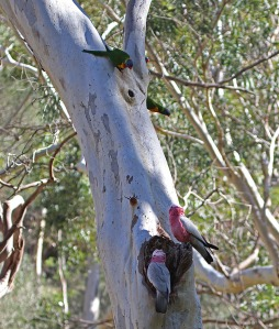 A A pair of rainbows watching galahs at nest site