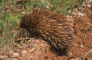 A Echidna trundling across dirt track
