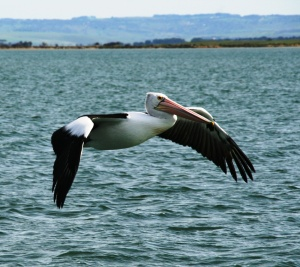 AB Pelican in flight cross the shallow waters of the Coorong