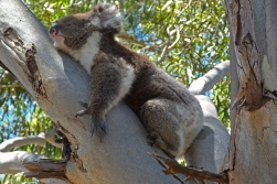 AC Koala in tree near the trailhead