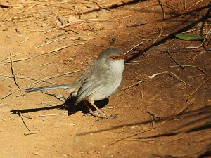 AH Female blue wren