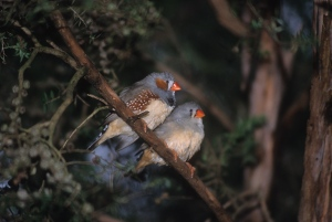 B Male and female zebra finches