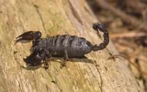 C Scorpion