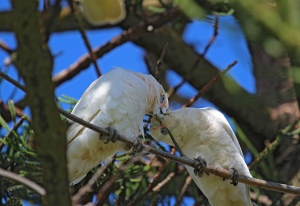 A Corella social behaviour