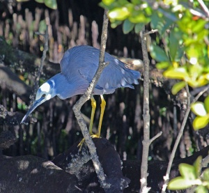 AA Whitefaced heron hunting deep in the mangroves