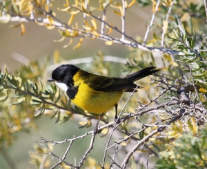 AC Golden whistler in thorny bushes on the edge of the mangroves