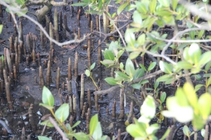 AG Puemataphores  in the mangrove forest