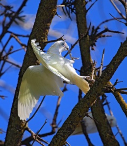 B Corellas use a combination of wings , beaks and feet  to position themselves