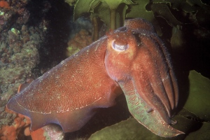 B large cuttlefish amongst brown algae